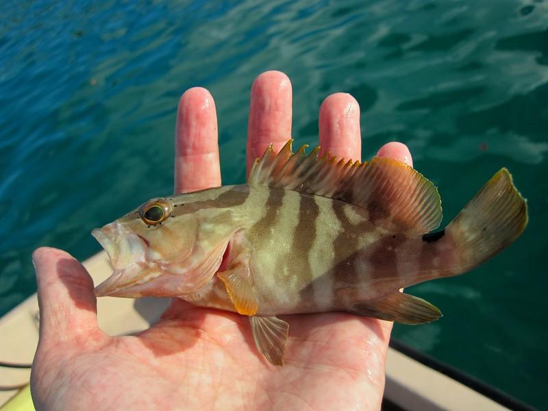 Little grouper