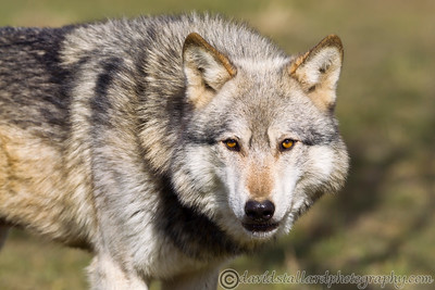 Wolf Conservation Trust 06-04-13