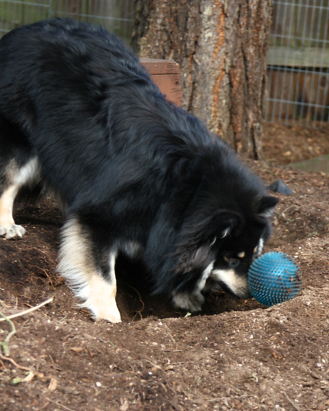 THIS IS THE NOSE ROLL TECHINQUE  Onni has invented a game of letting the ball roll into the hole...then he finds an assortment of ways to push it out.  He never just picks it up to carry it out....thats no fun!!!