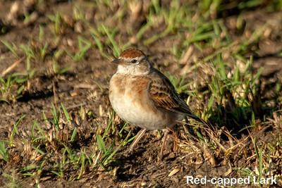 Red-capped Lark, Kenya