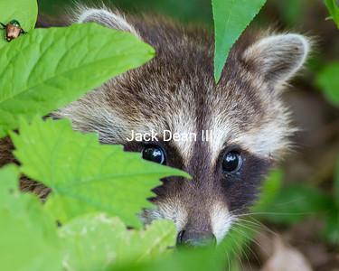 The Shy Raccoon