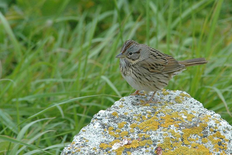 Sparrow - Lincoln's - Machais Seal Island - ME
