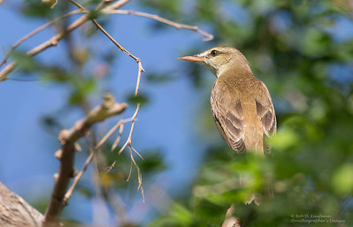 Acrocephalus orientalis - Oriental Reed Warbler