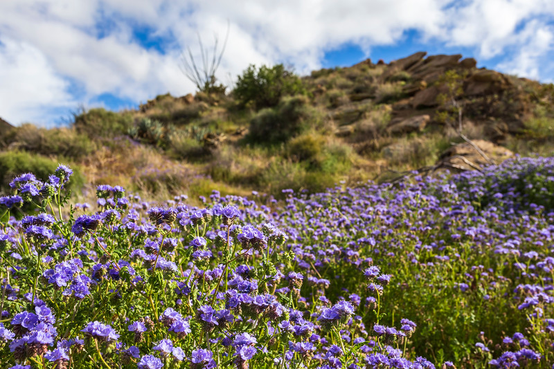 Nice blue-purple phacelia