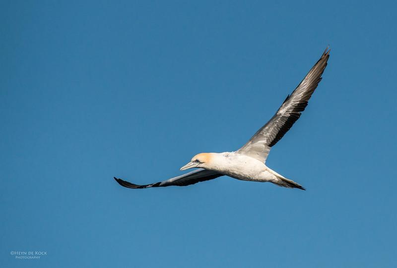 Australasian Gannet, Wollongong Pelagic, NSW, Aus, Aug 2012.jpg