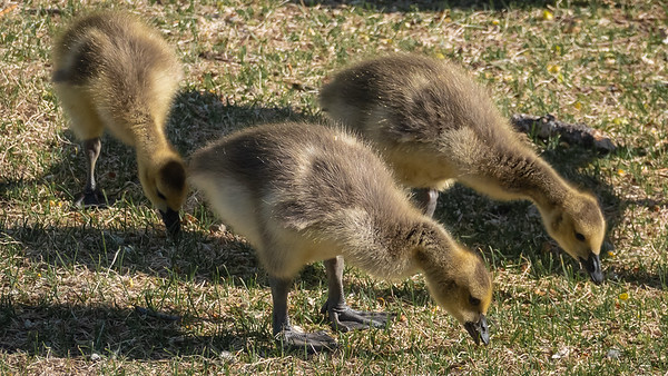 Goslings and More