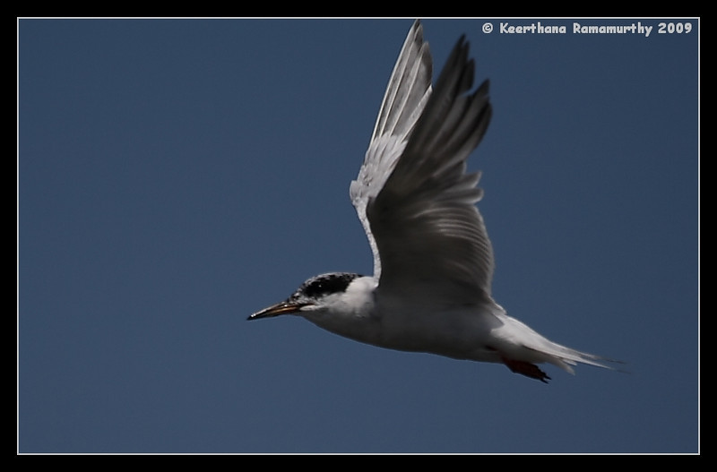 Forster's Tern, Robb Field, San Diego County, California, August 2009
