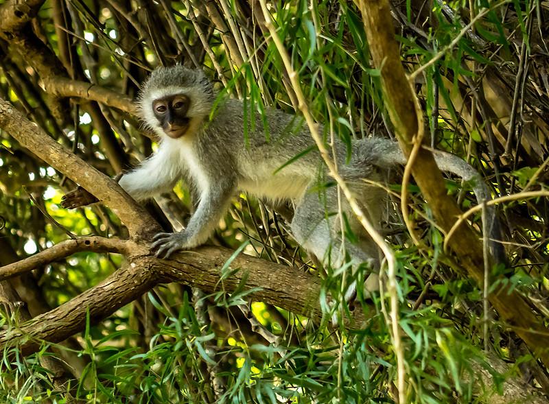 Ian Peters - Vervet Monkey Chlorocebus pygerythrus.jpg