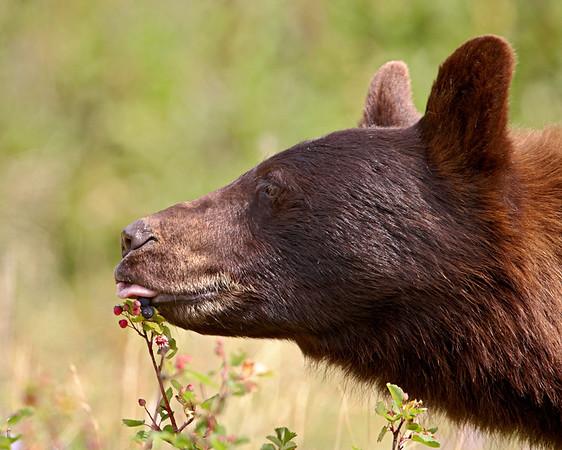 Waterton Lakes National Park Wildlife