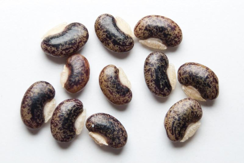 Desmodium gyrans (Telegraph Plant) seeds