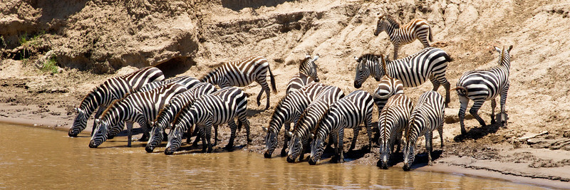 Zebras drinking.