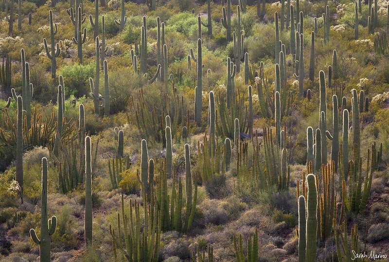 Desert Sentinels