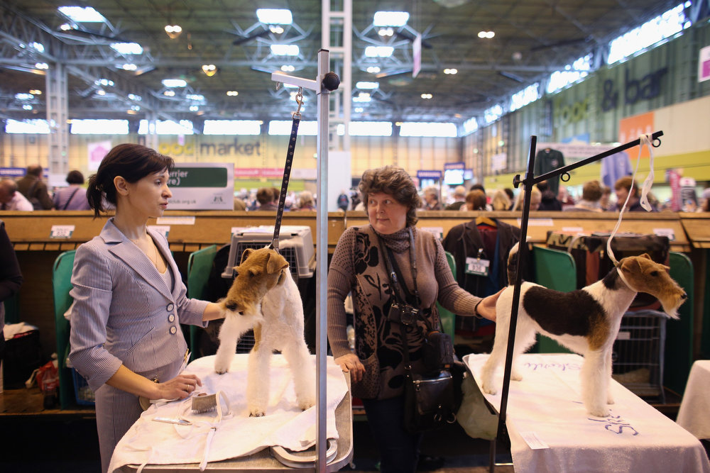 Description of . Women groom wire fox terrier dogs on the first day of Crufts dog show at the NEC on March 7, 2013 in Birmingham, England. The four-day show features over 25,000 dogs, with competitors traveling from 41 countries to take part. Crufts, which was first held in1891, sees thousands of dogs vie for the coveted title of 'Best in Show'.  (Photo by Oli Scarff/Getty Images)