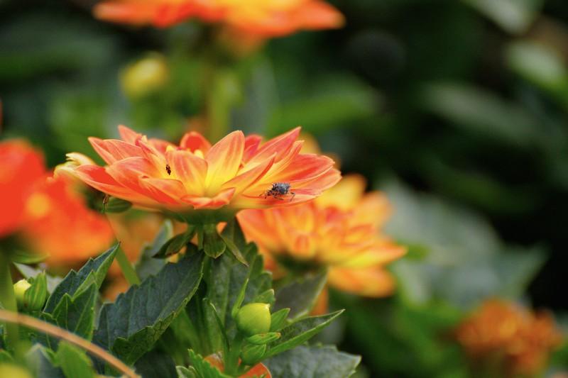 Dahlia with Bug 2