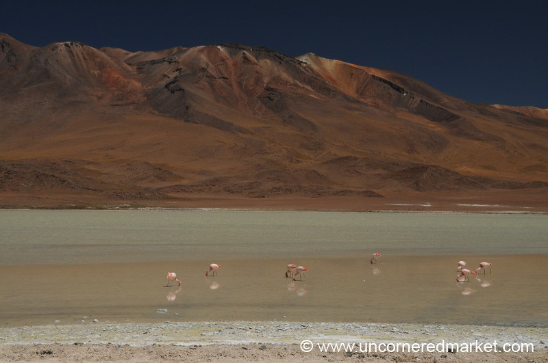 Flamingos Feeding - Salar Tour, Bolivia