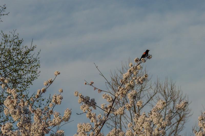 Cherry Blossom Tidal Basin Early Morning -36.jpg