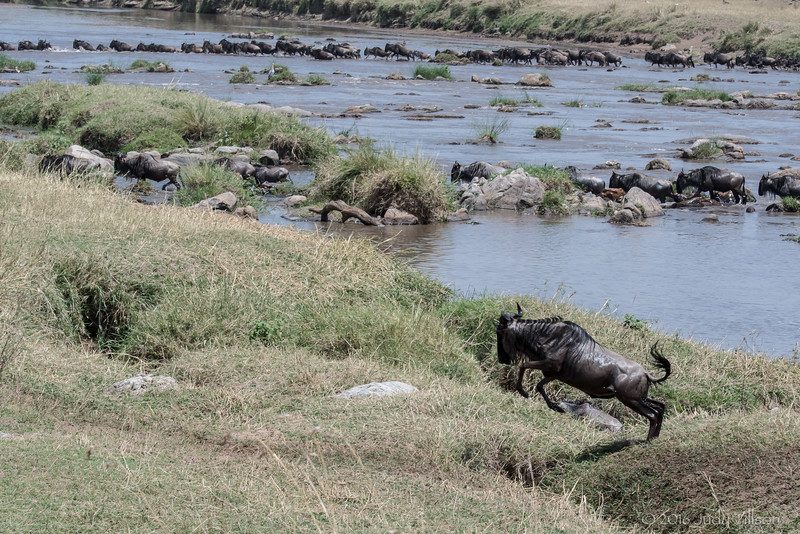 Tanzania Wildebeest crossing Mara River-0143.jpg