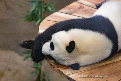 Dieren Panda's