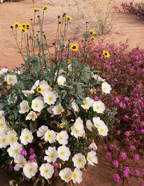 Biosphere Reserve of the, MEX/Pinacate & Gran Desierto Altar, Birdcage Evening Primrose (Oenothera deltoides), Sand Sunflowers (Heliathus niveus) Sand Verbena (Abronia villosa).298V2