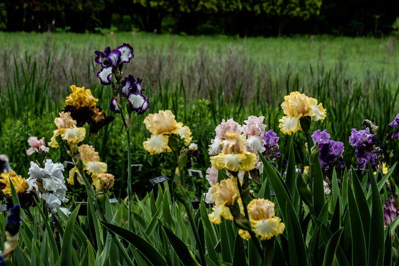 Arboretum Flower Iris-06466.JPG