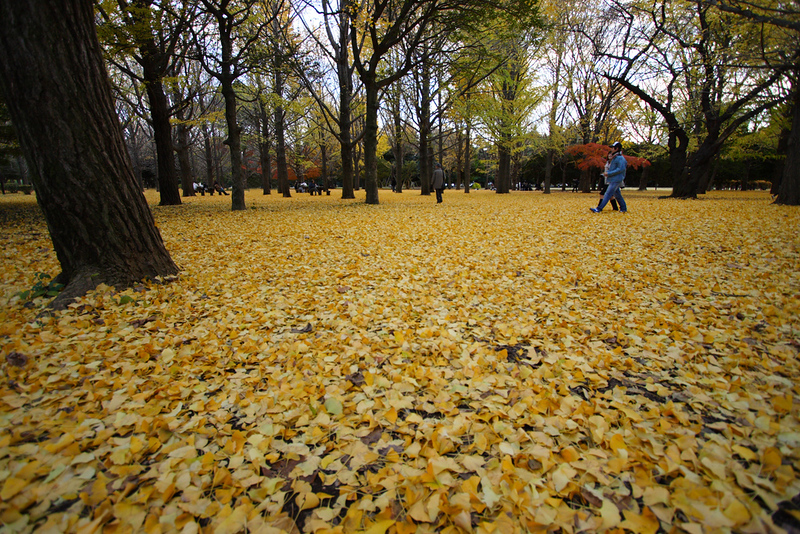 Ginkgo Ground