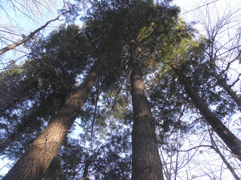 Some big firs here.JPG