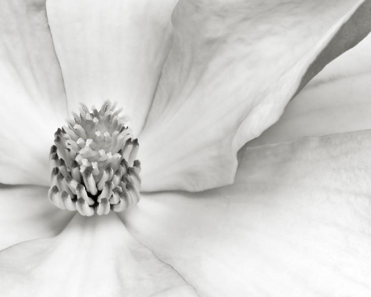 magnolia-08bw.jpg