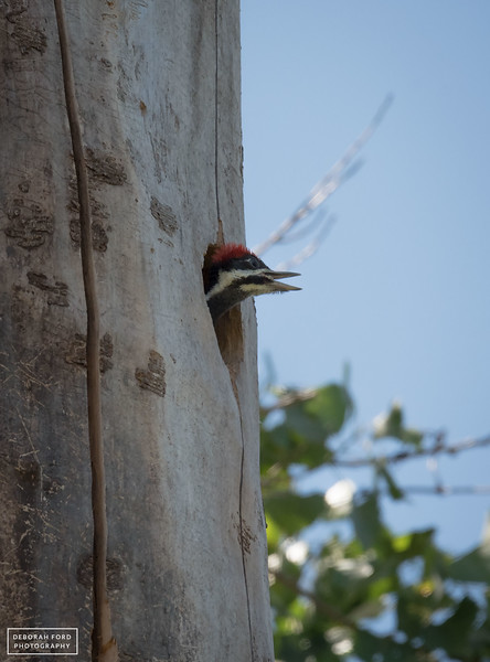 Pileated Woodpecker juvenile on the lookout for a parent with food