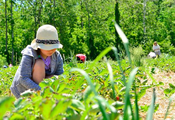 Picking strawberries - 061721