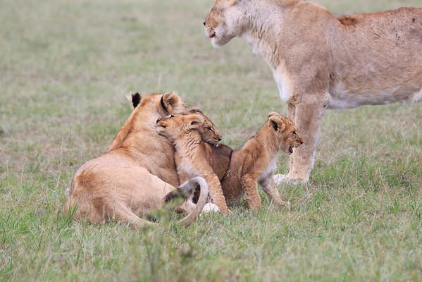 Lion Cub Afternoon Mara Reserve Kenya 2014