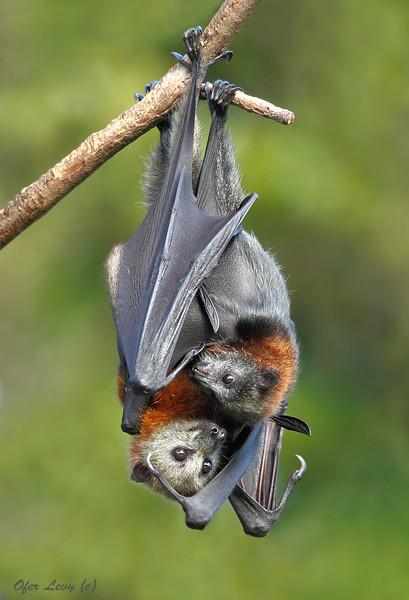 Grey-headed Flying Fox 17.jpg