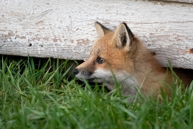 fox beneath the shed -2234.jpg
