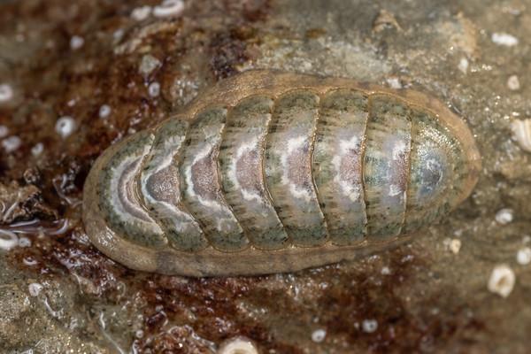 Ischnochiton maorianus - Variable chiton