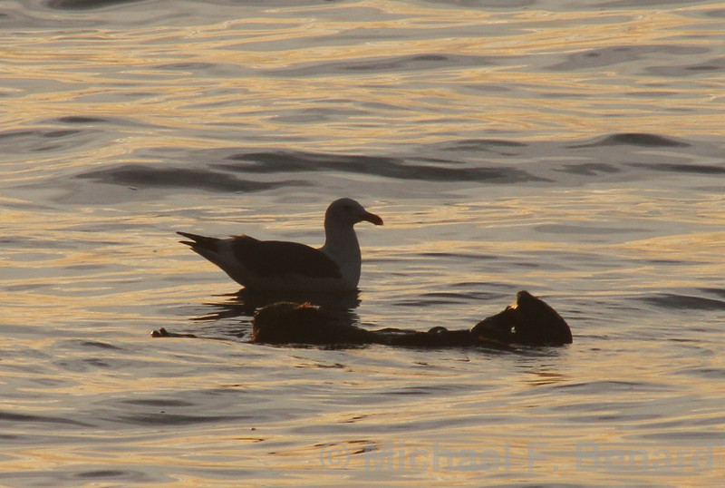 Sea Otter floating next to Western Gull