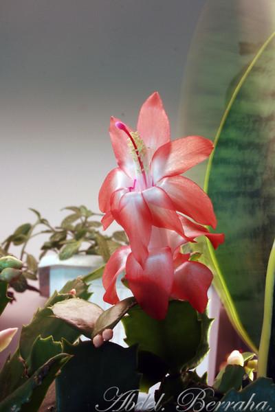20081122_Cactus blossom_0254.jpg