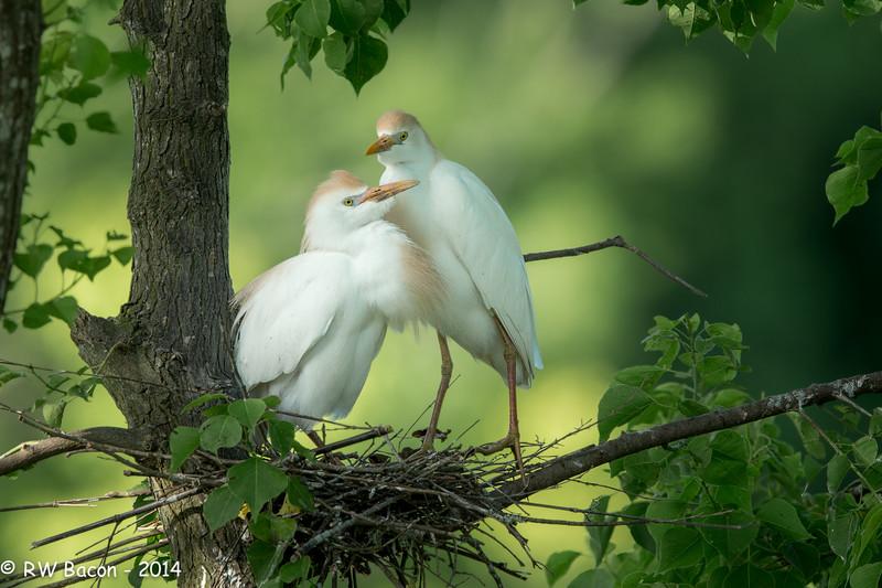 Cattle Egret Couple.jpg