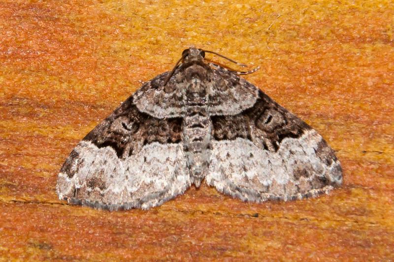 Carpet-Sharp-angled-(Euphyia intermediata)- Dunning Lake - Itasca County, MN