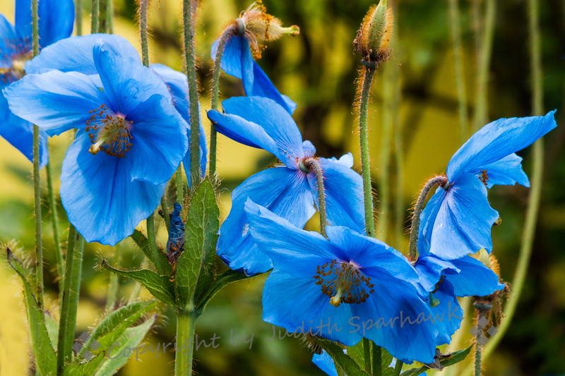 Blue Poppies???