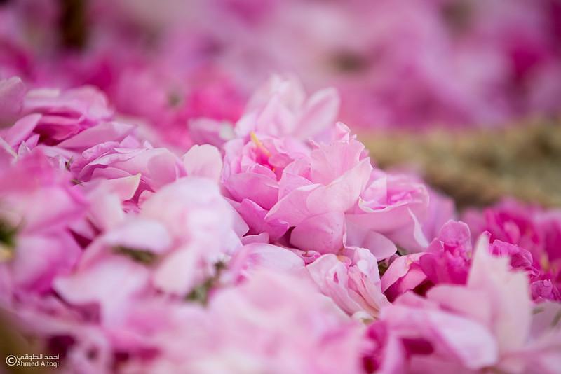 Roses Water (44)-Aljabal Alakhdhar-Oman.jpg