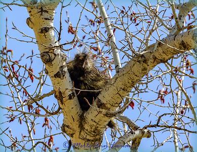 Porcupine - Erethizon dorsatum