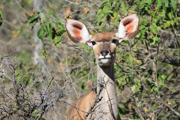 Antelope Okavango Delta Botswana 2008 2011