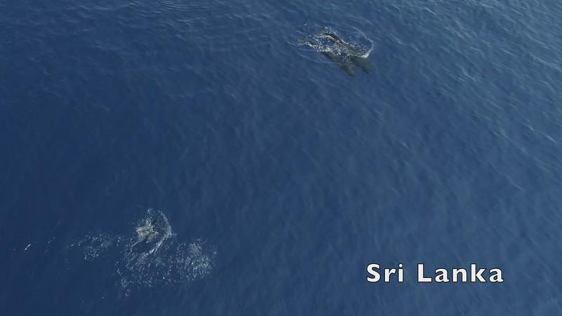 Sri Lankan Pilot Whales-1920_mp4.MP4