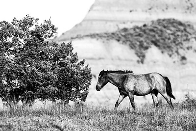 Wild Horses of the Great Plains
