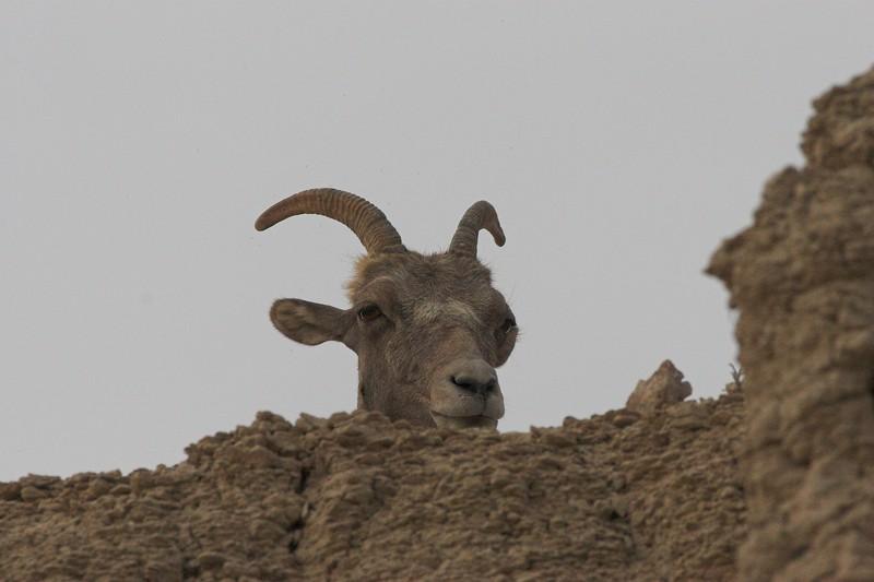 Bighorn Sheep, Badlands National Park