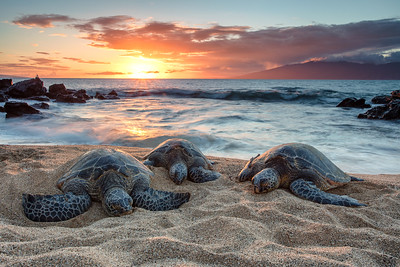 Honu - The Turtles of Hawaii