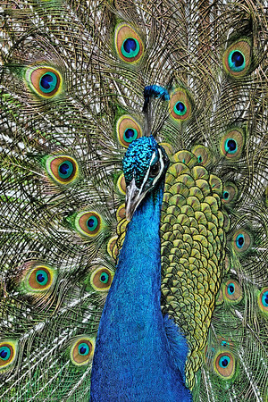 Birds Ornamental