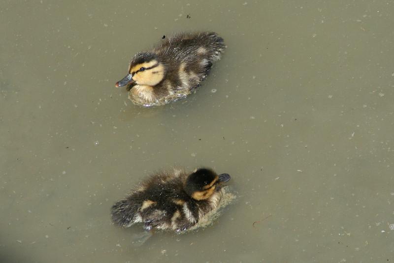 Mallard Chicks.JPG