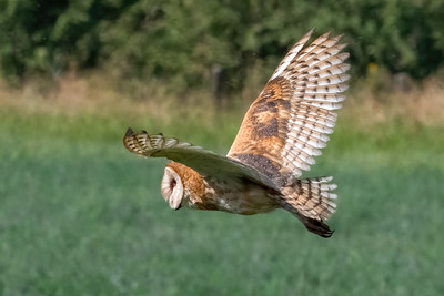 2021_7_25 Barn owl in Davis