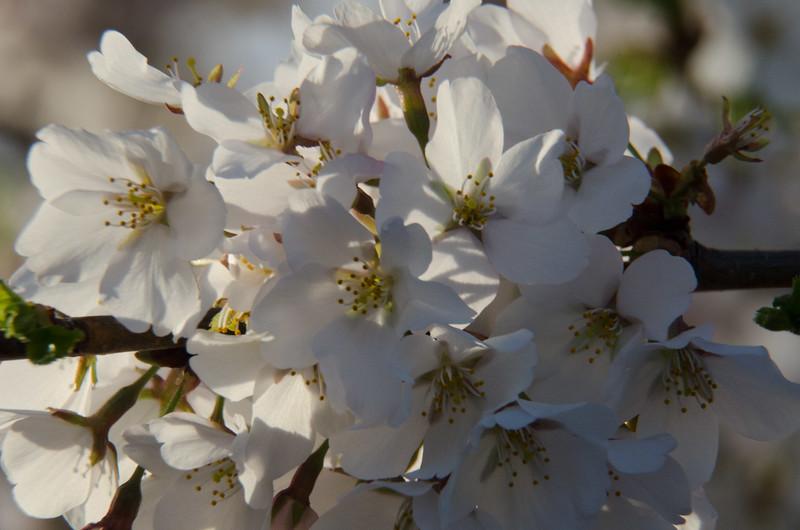 Cherry Blossom Tidal Basin Early Morning -39.jpg