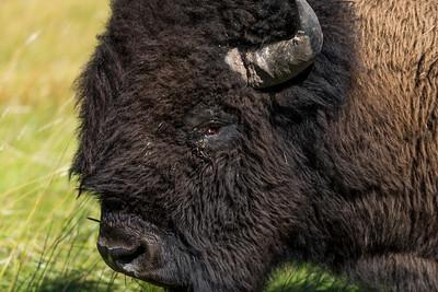 Bison Volume 2